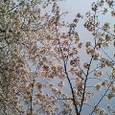 芝増上寺の桜
