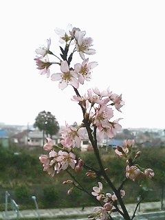 ベランダの桜